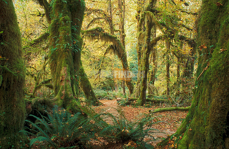 Hall of Mosses Trail in Hoh Rainforest, Olympic National Park, Washington..#2419-4588