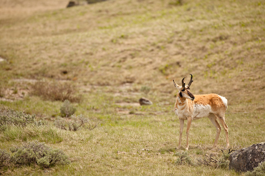 A single male pronghorn antelope stands in a grassy hillside.