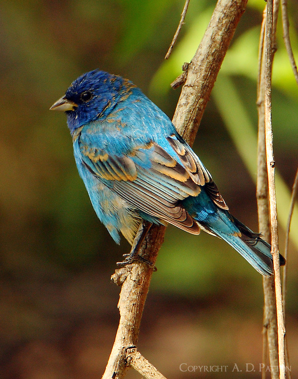 Adult male indigo bunting nearing full breeding plumage in early April