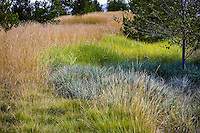 Groundcover grasses in urban park landscape design meadow garden Pennisetum spathiolatum (left) Pennisetum 'Tall Tails' (green) Leymus condensatus 'Canyon Prince' (gray), Jeffrey Open Space, Irvine California