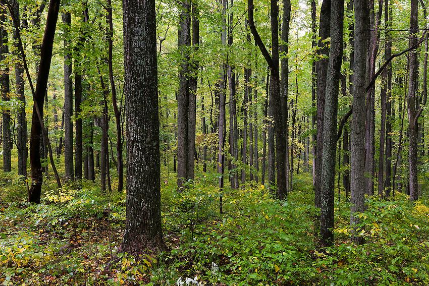 Trees, Shenandoah NP, VA