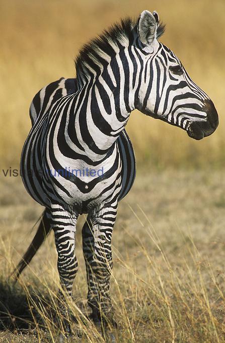 "Equus burchelli.A Burchell's Zebra..""Masai Mara National Park, Kenya"".."