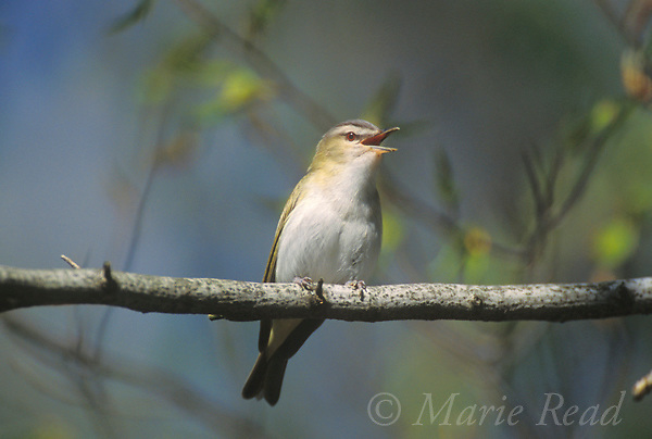 Red-eyed Vireo (Vireo olivaceus) singing in spring, New York, USA<br /> Slide # B159-54