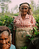 SRI LANKA, Asia, portrait of senior women in tea plantation field