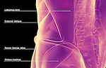An anterolateral view (left side) of stylized muscles of the lower back. Royalty Free