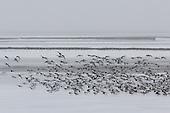 Vliegende scholeksters boven bevroren Waddenzee bij veerdam Holwerd.