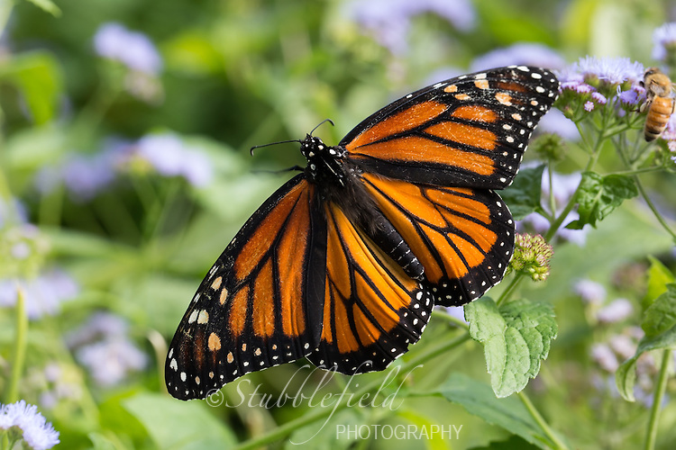 Monarch Butterfly (Danaus plexippus) on a flower in Central Park, New York City, New York.