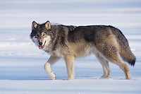 Gray Wolf (Canis lupus), adult walking in snow, captive, USA