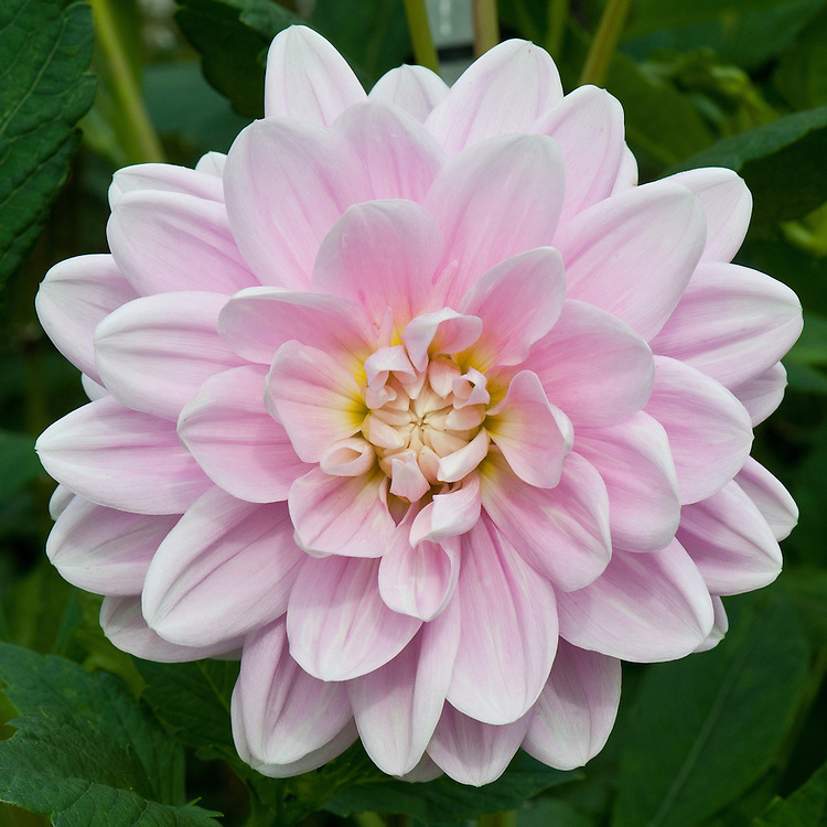 Dahlia 'Brackenridge Ballerina', early August.