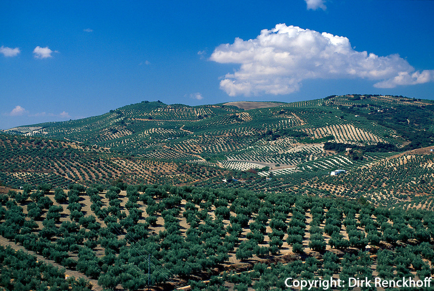 Spanien, Andalusien, Olivenbäume bei Alcacala de la Real in der Provinz Jaen
