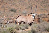 Gemsbok in Karoo National Park, South Africa.