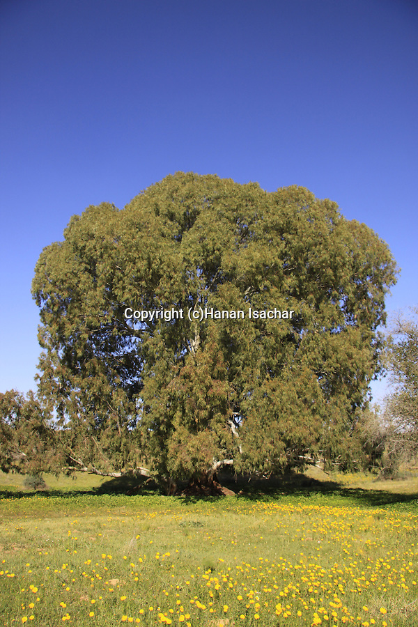 Israel, Coastal Plain, Eucalyptus tree in Wadi Hatzav .