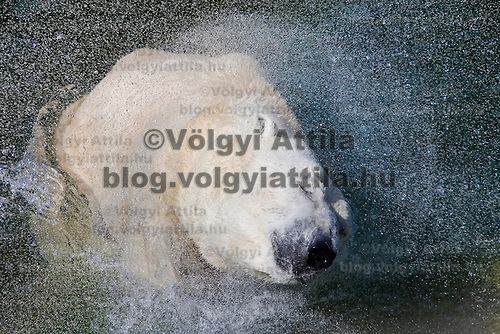 Lady the polar bear leaves the pool.