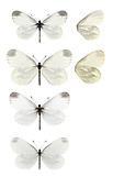 Wood White - Leptidea sinapis. Male 1st generation (top) - female 1st generation (second down) - male 2nd generation (third down) - female 2nd generation (bottom).