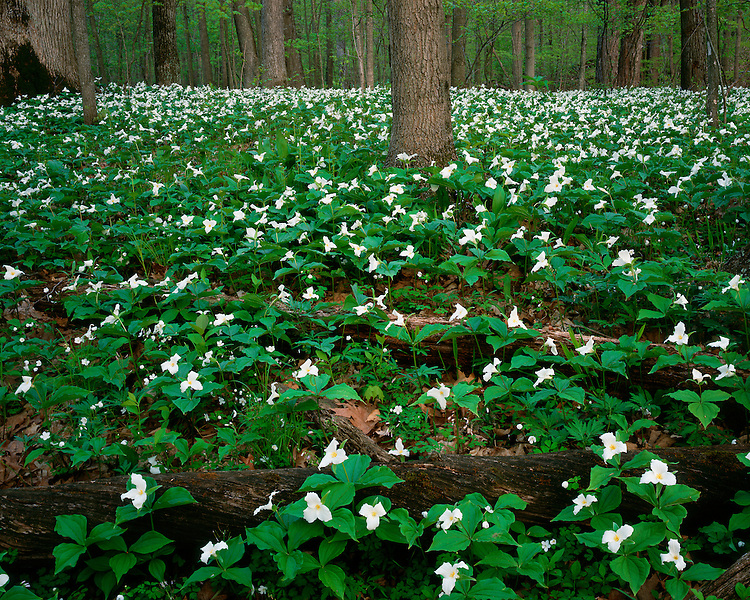Trilliums (Trillium grandiflorum) in bloom in Aman Park; Grand Rapids, MI