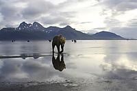 Kodiak grizzly bear (Ursus arctos middendorffi) and reflection, Hallo Bay