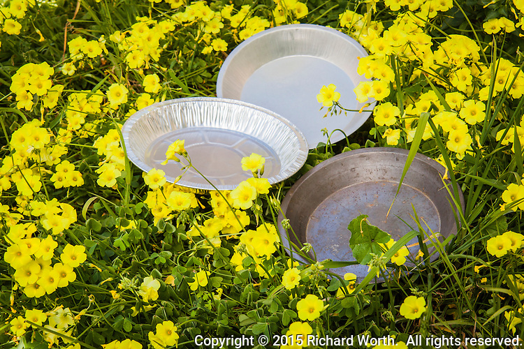 In honor of Pie Day, pie pans lie among bright yellow oxalis blossoms.