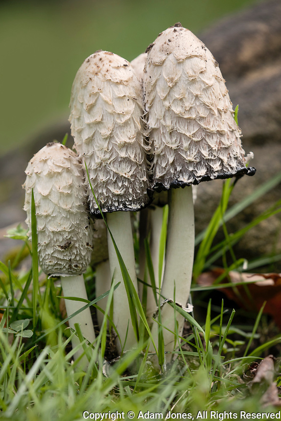 Shaggy Mane or Lawyers Wig mushrooms, Pictured Rocks National Lakeshore, Upper Peninsula, Michigan<br /> (Coprinus comatus)