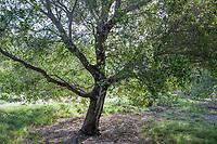 Quercus agrifolia, California Live Oak tree, Leaning Pine Arboretum, California garden