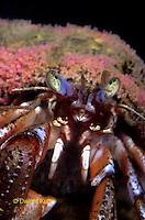 1Y30-004b  Hermit Crab - Acadian Hermit Crab Pagurus acadianus.