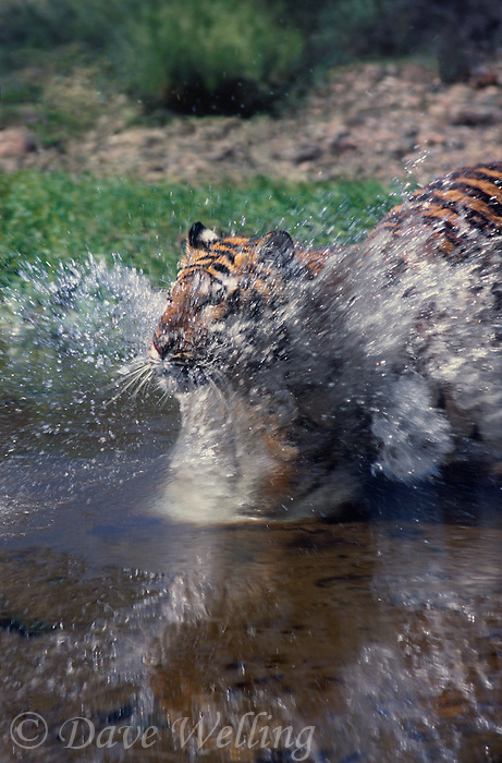 683990003 a young bengal tiger panthera tigris a wildlife rescue animal explodes into a pond at a wildlife rescue facility - species is native to the indian subcontinent and is highly endangered in its native home range