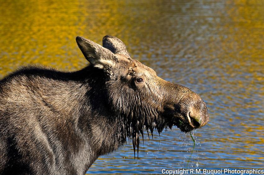 Moose drool, Grand Teton National Park