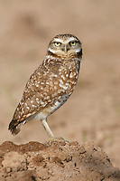 Burrowing Owl - Athene cunicularia - Adult