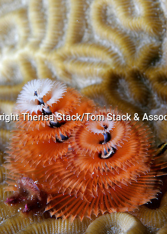 Christmas Tree Worm, Spirobranchus giganteus,  Florida Keys National Marine Sanctuary