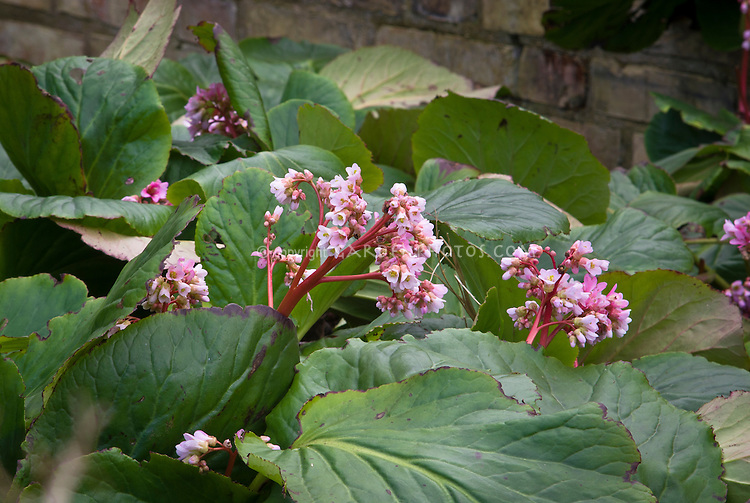 Bergenia x schmidtii in bloom. Recently delisted as AGM