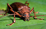 Timber Beetle, Coleopetra, Cerambycidae sp. Belize showing face, jaws and compound eyes, Central America, brown, many species are serious pests on timber and fruit trees