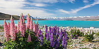 Panoramic flowering lupins at Lake Tekapo on sunny day, Mackenzie Country, South Island, New Zealand - stock photo, canvas, fine art print