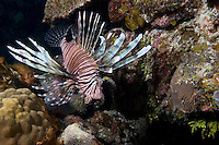 Lionfish, a non indigenous species in the Caribbean, inhabits a Bahama Islands Reef