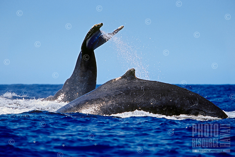 Humpback whales (Megaptera novaeangliae) in competitive group, lobtailing or tail-slapping near the Big Island
