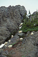 Mountain Goats band on mountain cliffs--a place of protection. May