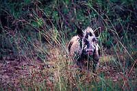 Feral  Pig, piebald: Guam