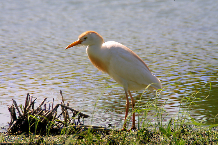 Cattle egret adult breeding standing on shore of pond
