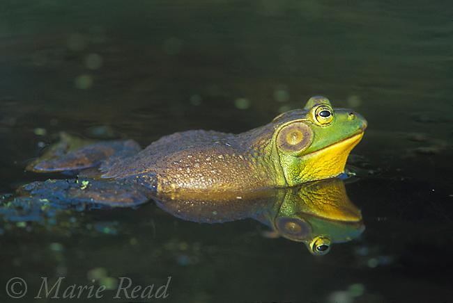 Bullfrog (Rana catesbeiana), male, New York, USA<br /> Slide # A2-13