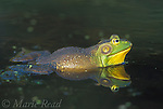 Bullfrog (Rana catesbeiana), male, New York, USA<br /> Slide # A2-13