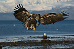 A juvenile bald eagle landing on the beach at Homer, Alaska.