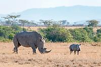 White Rhinoceros (Ceratotherium simum) feeding, with young, Ol Pejeta Reserve, Kenya, Africa
