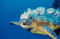 green sea turtle, Chelonia mydas, endangered species, being cleaned of algae by convict tang, Acanthurus triostegus sandvicensis, Kona Coast, Big Island, Hawaii, USA, Pacific Ocean