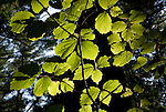 Backlit American Beech Tree leaves