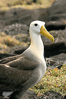 The lifespan of the waved albatross is around 40 years and were named for the vermiculations (waves) that separate their brown back from their white head. They return each year to the island of Española in the Galápagos Islands in April, but spend nearly half the year at sea feeding on squid following the shifting currents of the Humboldt Current.
