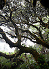 Ohi'a trees in the Pu'u Kukui Watershed, a protected rainforest on West Maui, Hawaii. Photo by Kevin J. Miyazaki/Redux