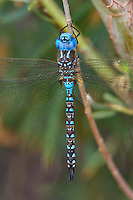 339360054 a wild male blue-eyed darner rhionaeschna multicolor perches on a plant stem near bishop inyo county california