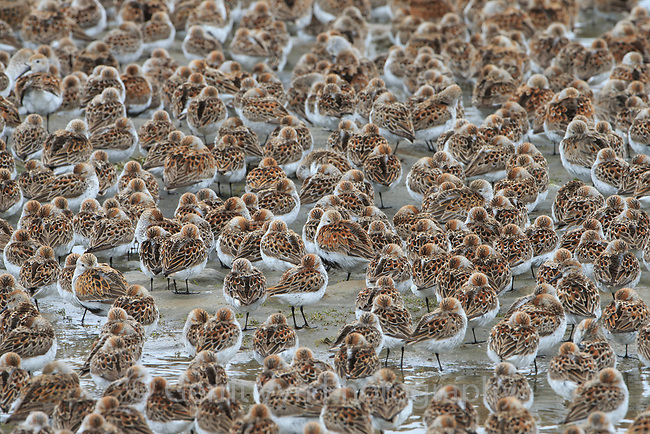Dunlin and Western Sandpipers rest on mudflats during their spring migration to Alaska. Gray's Harbor, Washington. May.