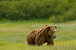 A large Alaskan brown bear male patrols the meadow in search of females in heat, Lake Clark National Park, Alaska, June 27, 2008.  Recent injuries are apparent on his face, neck, and torso, most likely sustained from fights with other males in the area.  This photo was taken during breeding season.  Photo by Gus Curtis.