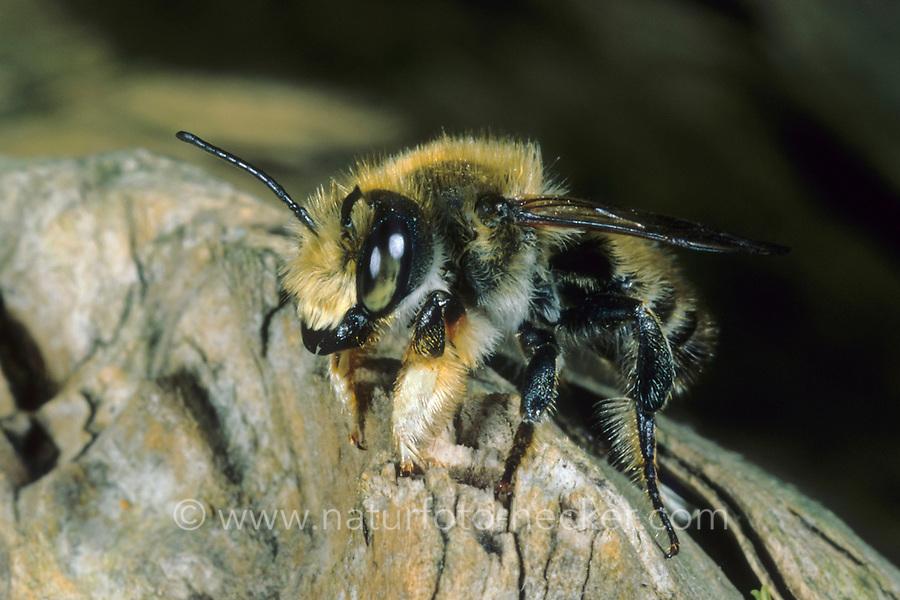Garten-Blattschneiderbiene, Gartenblattschneiderbiene, Megachile willughbiella