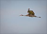 Sandhill Cranein flight with wings in upstroke