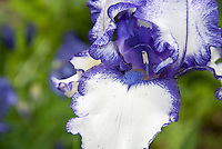 Bearded iris Orinoco Flow in bicolored white and blue with blue beard, picotee edge, macro closeup, inside flower